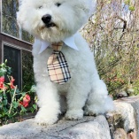 Classic Designer BURBERRY-style Tan British Plaid NECK TIE with Straight Point Collar for DOG OR CAT